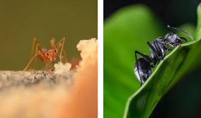Perbedaan Semut Merah Dan Semut Hitam