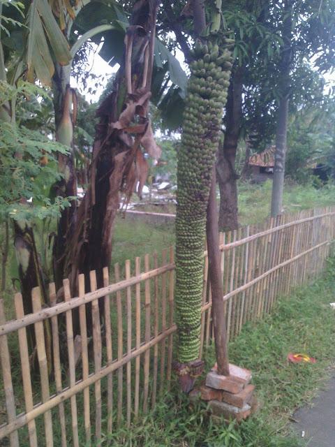 Subhanallah! Pohon Pisang Ini Berbuah Banyak dan Panjang Sampai ke Tanah