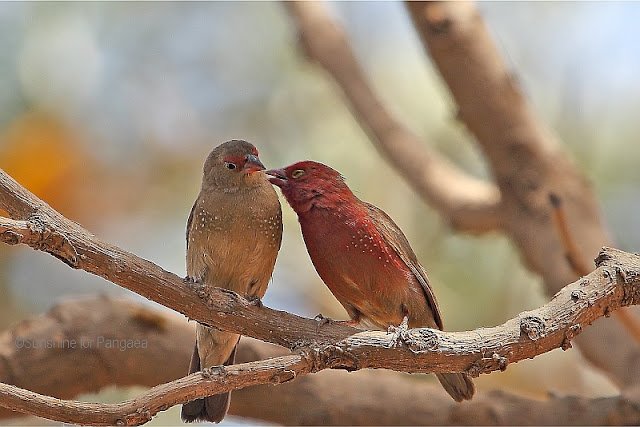 Firefinches in East Africa