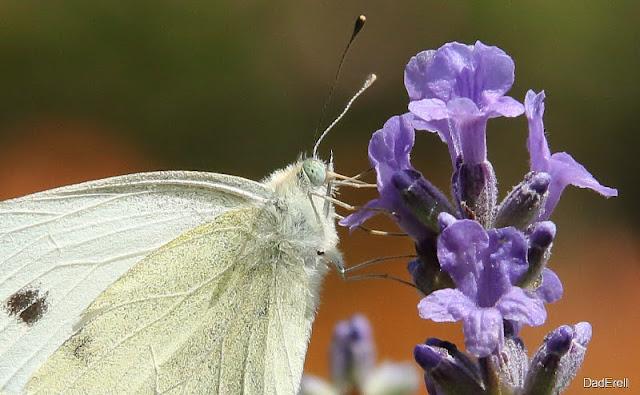 Papillon piéride du chou sur lavande
