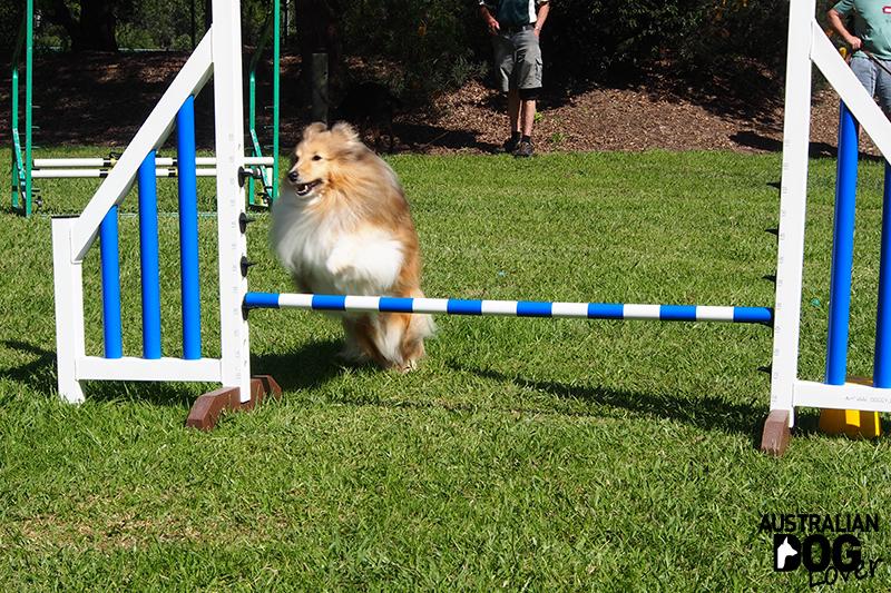 Dog Agility - The Ultimate of Dog Sports | Australian Dog