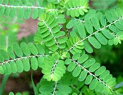 Bhumiamla, Phyllanthus niruri