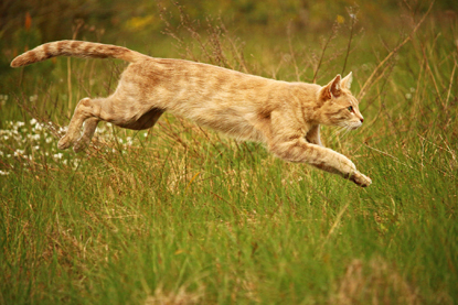 ginger cat leaping through the grass
