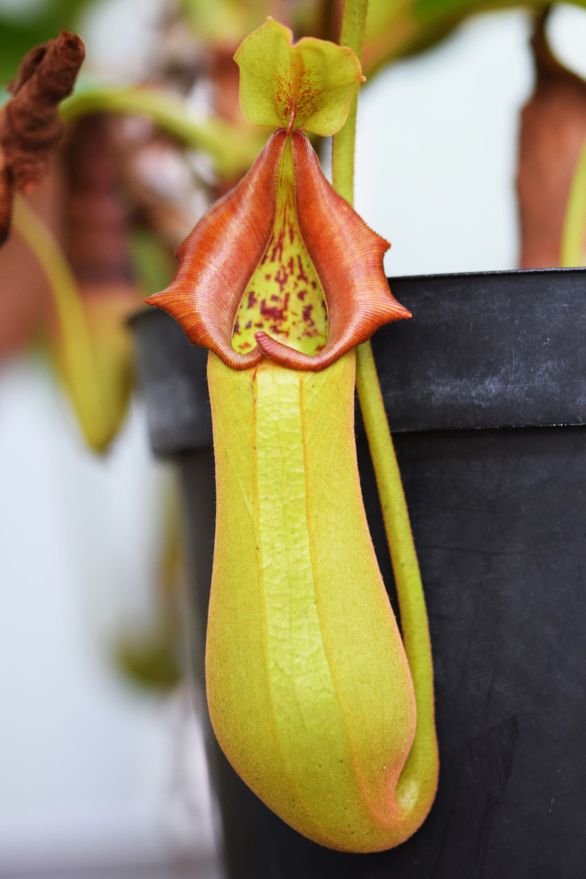 Tropical Pitcher Plants (Nepenthes)