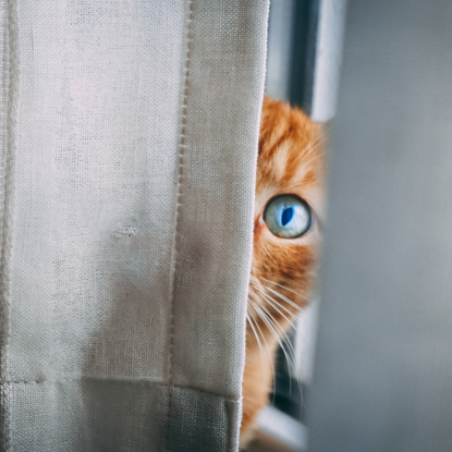 Ginger tabby cat hiding behind grey curtain