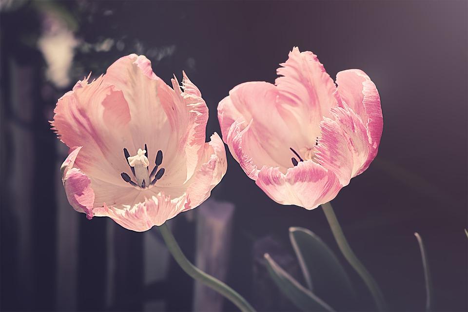 tulips 3339416 960 720 1
