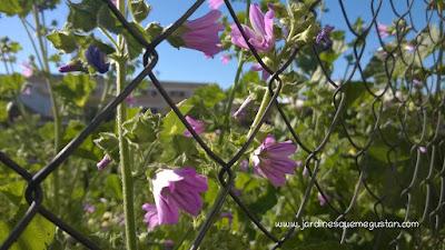 Flor de Malva Sylvestris, mala hierba