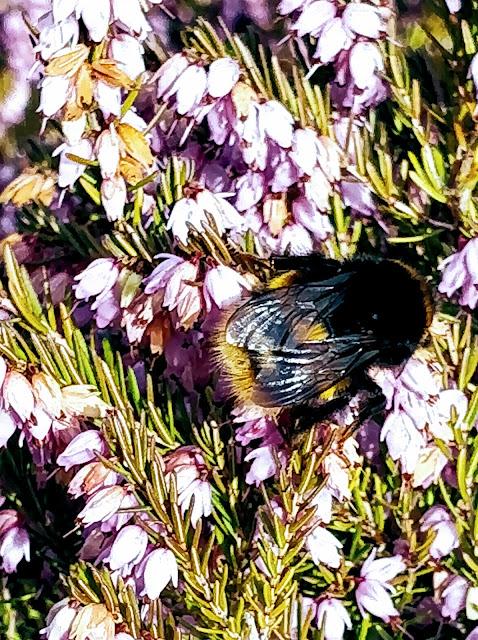 A honey bee in an English garden