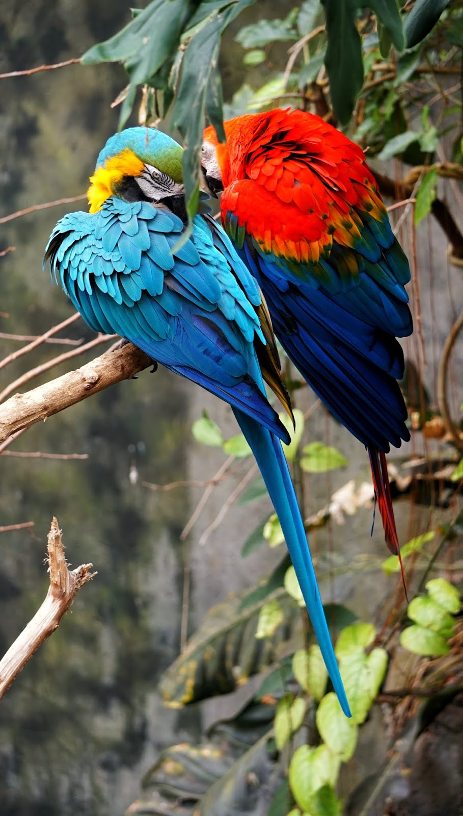 Scarlet Macaw the most beautiful South American queen