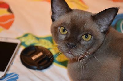 القط البورمي : Burmese