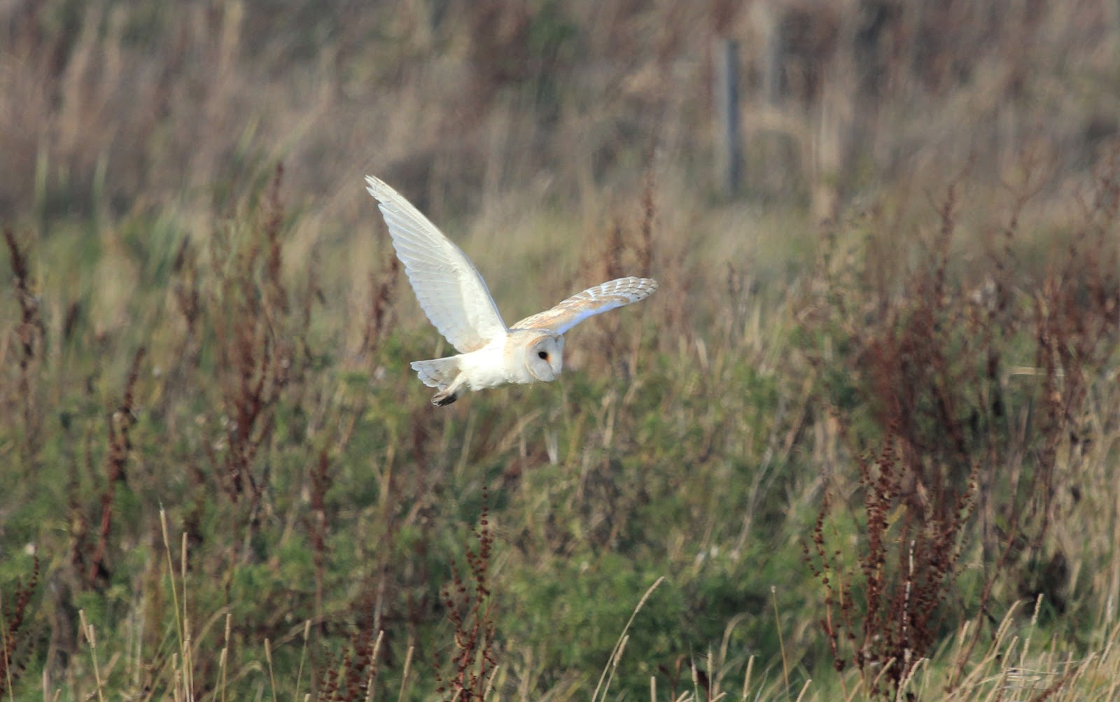 Barn Owl Tyto alba Also know as Common Barn Owl Species Code TYAL Description The Barn Owl is a mediumsized raptor a nocturnal bird of prey like other owls