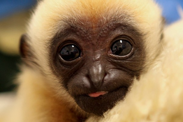 honourswithapes: Cute baby gibbons!!
