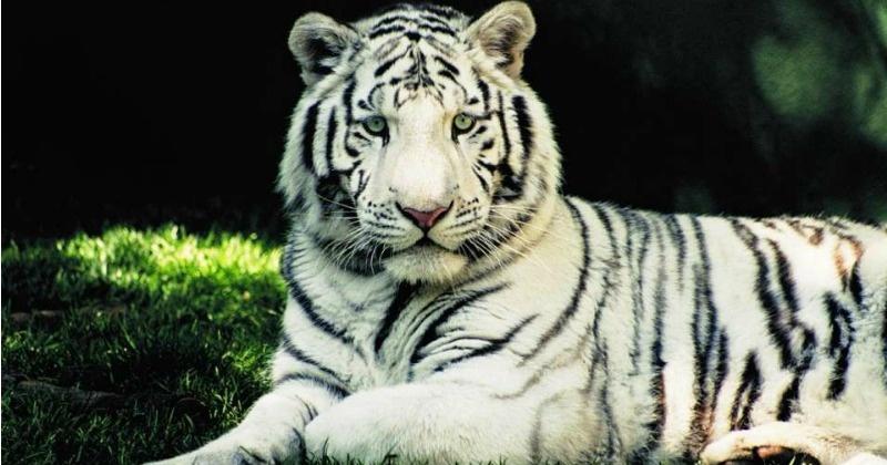 white tiger, rewa, mohan, white tiger mohan