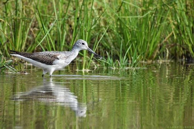 The Common Greenshank