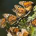Visitas a los Santuarios de la Mariposa Monarca, con estrictas medidas de higiene