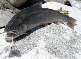 أفضل 12 نوعًا من الأسماك فى العالم بالصور