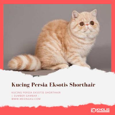 Jenis Kucing Persia Eksotis Shorthair