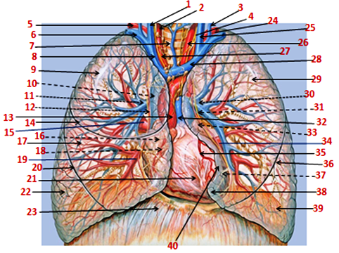 Εικόνα (σχέδιο) ανατομίας θώρακα, μεσοθωρακίου, καρδιάς και πνευμόνων