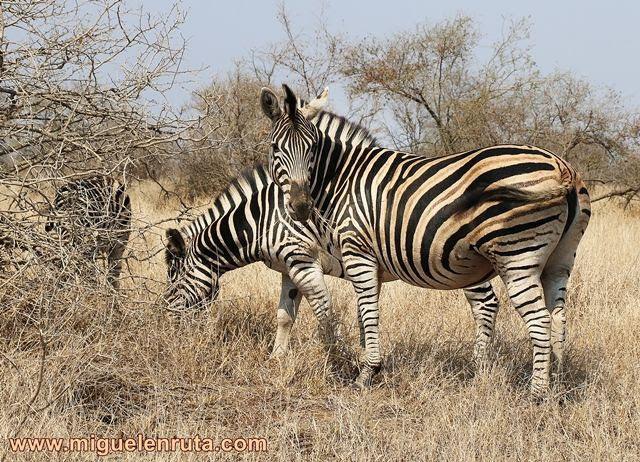 Cebras-Kruger-Sudáfrica