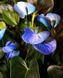 Originário da Venezuela e Colômbia, o antúrio, de bela folhagem, possui flores hermafroditas que não se autofecundam.