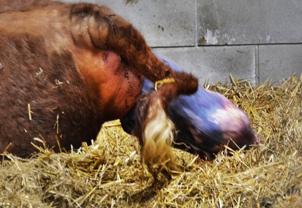 kalvefødsel
