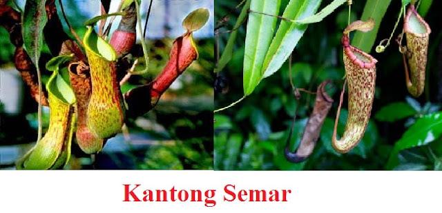 Salah satu contoh tumbuhan insektivora atau tumbuhan pemakan serangga adalah kantung semar atau kantong semar. Mungkin Anda pernah bertanya-tanya, mengapa tumbuhan ini disebut sebagai kantung semar?