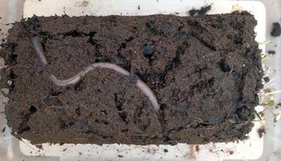 Wow, Cacing Tanah Dapat Bereproduksi di Tanah Mars