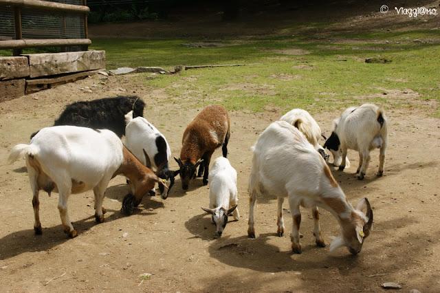 Le caprette nella Fattoria del Parco Pallavicino di Stresa