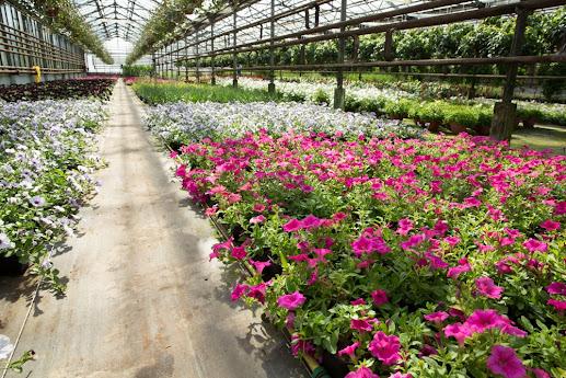 Большой ассортимент рассады в цветочной компании «Харченко» в агрофирме «Подмосковное»