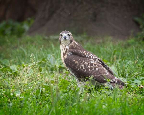 Tompkins Square red-tail fledgling 14