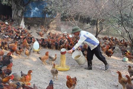 doanh thu nuôi gà
