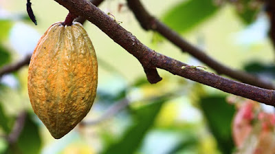 5 Tips Merawat Tanaman Kakao