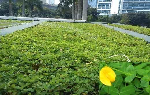 Tanaman ini juga seringkali dijadikan sebagai tanaman hias. Dibeberapa kota besar di Indonesia, landep dijadikan sebagai tanaman penghias taman