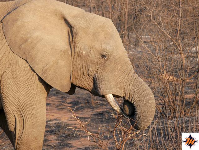 Pilanesberg National Park, elefante