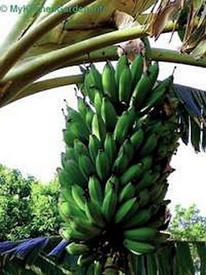 Bananas Growing on tree