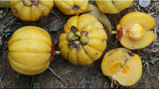 gambar buah asam gelugur