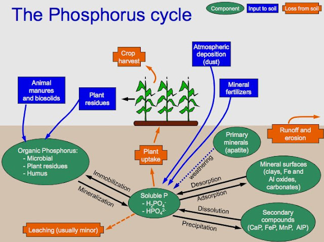 The Phosphorus Cycle Microbiology