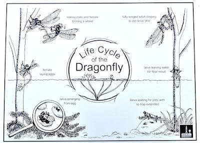Life cycle of dragon fly