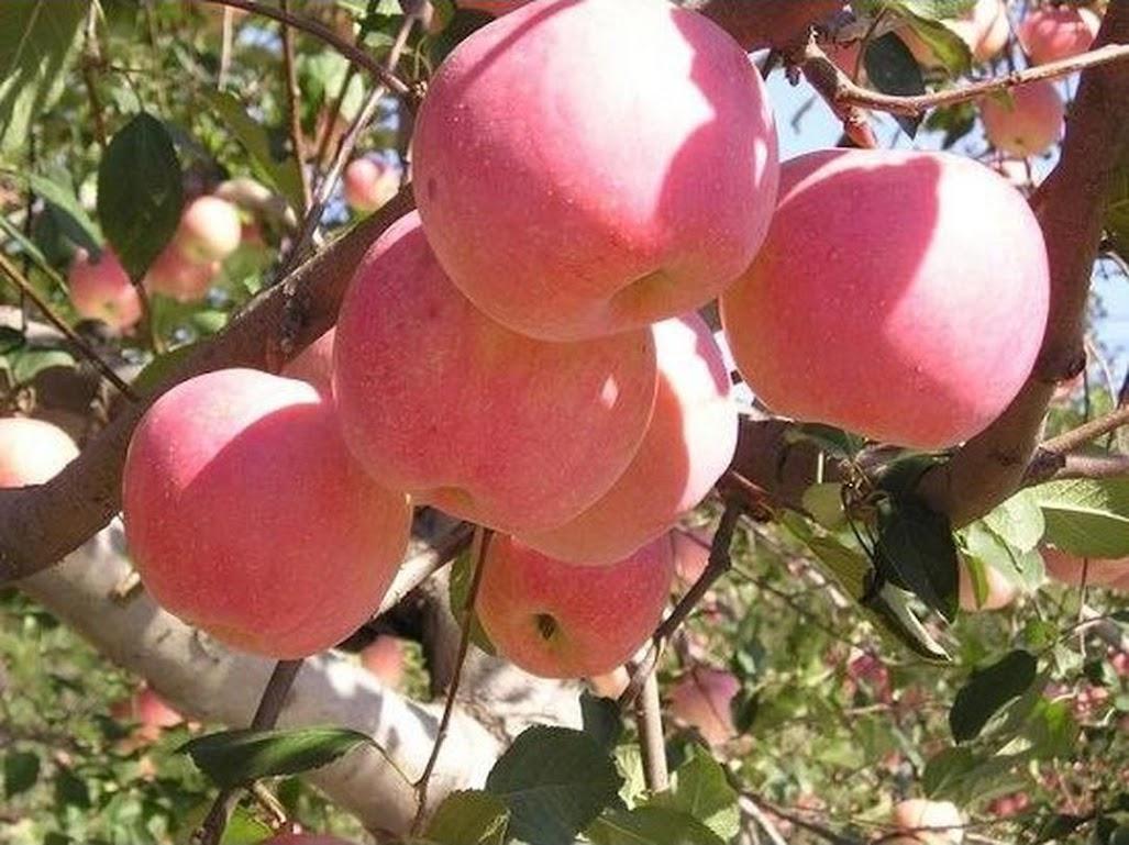 Bibit tanaman buah apel pink honey okulasi siap berbuah Pasuruan