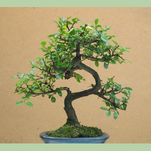 Indoor Gardening Best Bonsai Trees For Beginners
