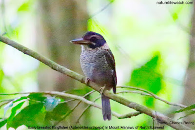 Scaly-breasted Kingfisher in Mount Mahawu of Sulawesi island