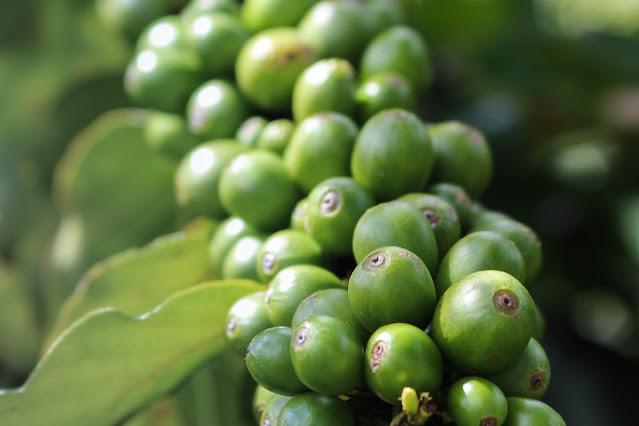 caffè sostenibile