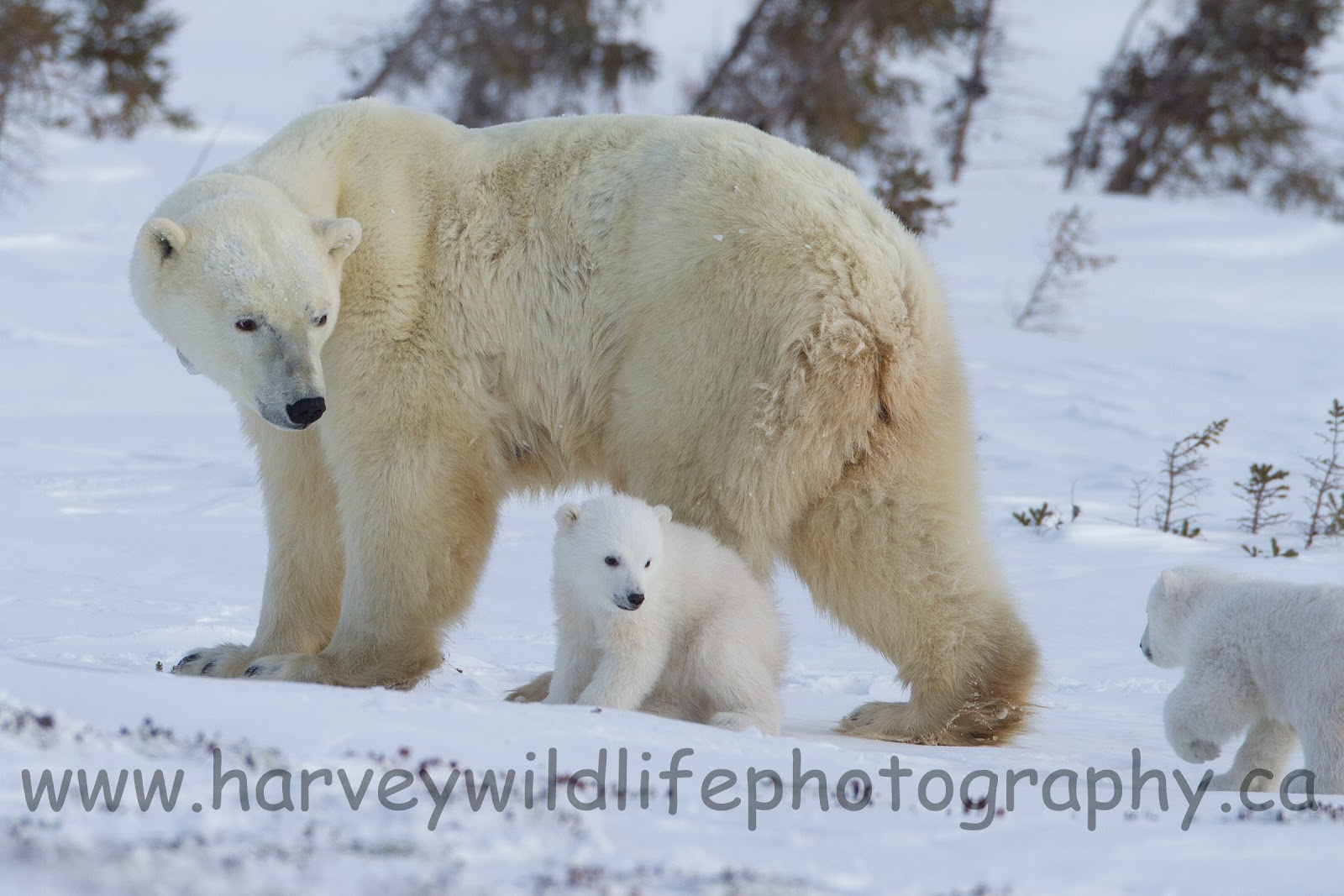 polar bear couple - photo #26
