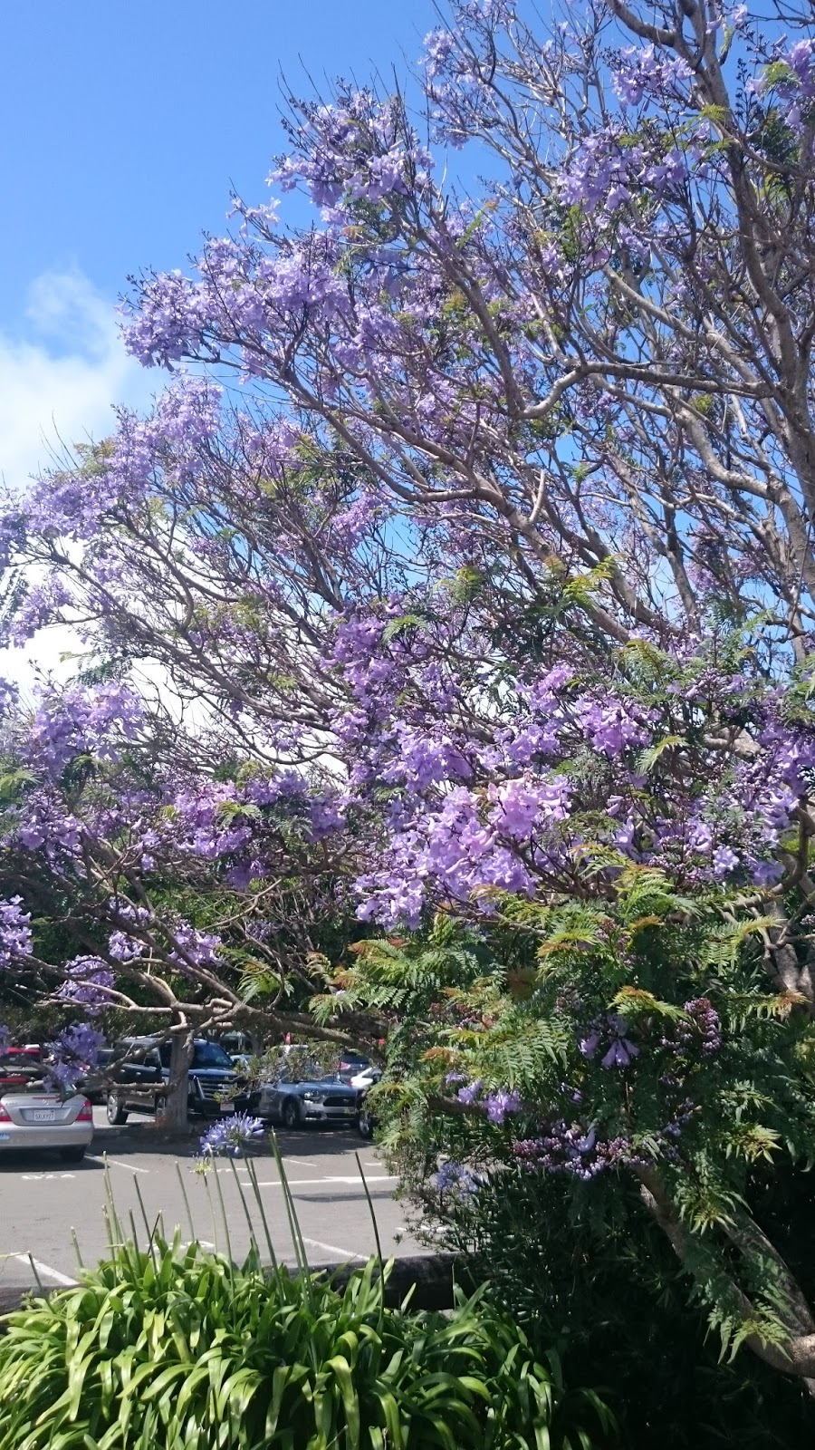Vibrant beautiful lilac flowers in Sausalito