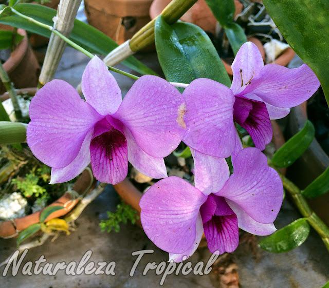 Flores rosadas de la orquídea Dendrobium bigibbum