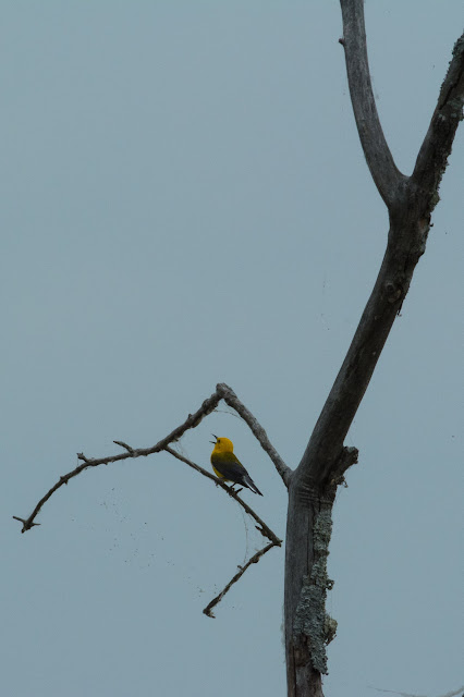 Prothonotary Warbler, Clear Creek Natural Heritage Center
