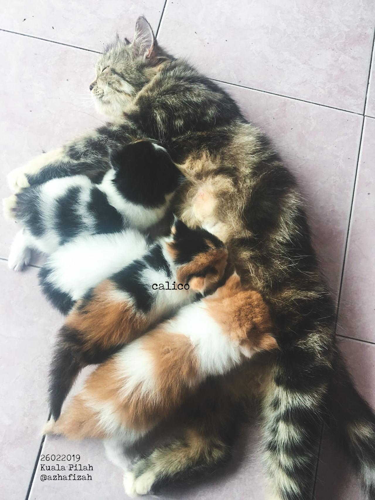 Calico, Kucing tiga warna