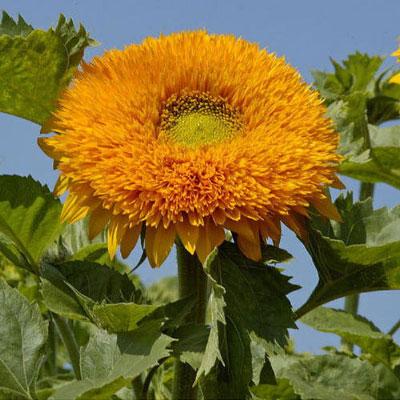 向日葵種子 重瓣品種金陽