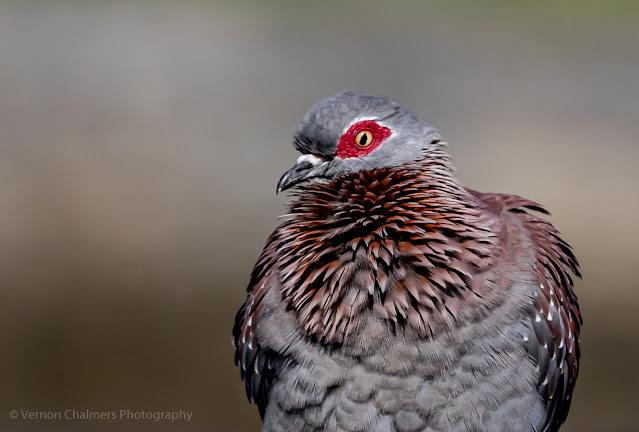 Speckled pigeon - Woodbridge Island @ f/5.6