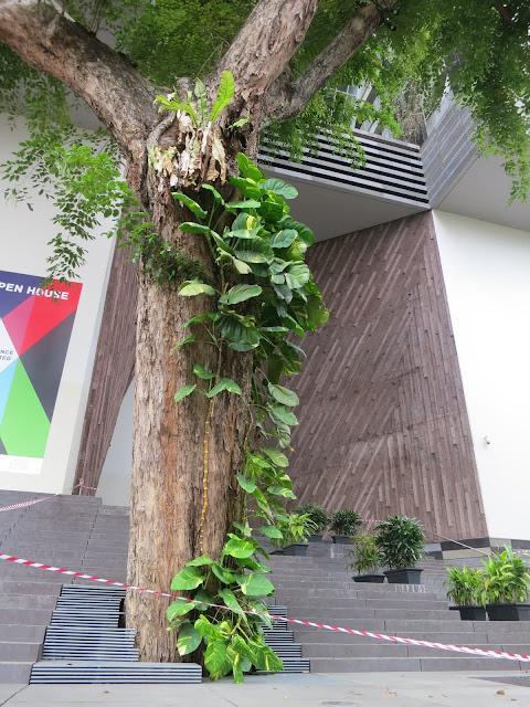 SOTA Angsana Tree - 2014 photo